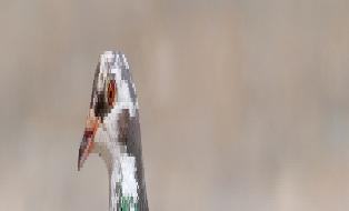 Hommage à Françis le Pigeon