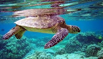 Pétition : Non à la consommation de viande de tortues de mer !