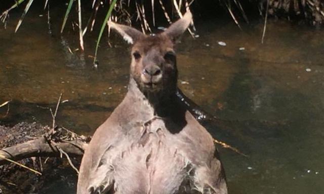 Pour exterminer les Kangourous