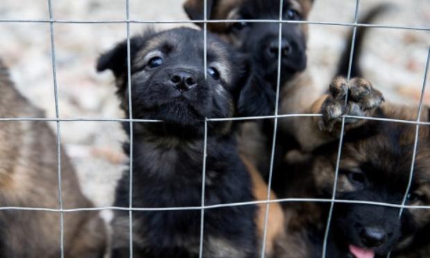 Stoppons le trafic de chiots venant d'Europe de l'Est : commerce illégal et dangereux alimentant animaleries et sites de petites annonces