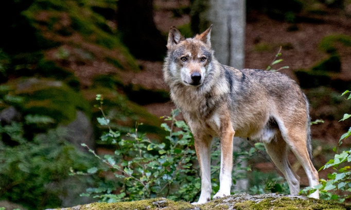 """Exigeons de connaître la vérité sur l'abattage du loup """"Papillon""""; exigeons un RÉFÉRENDUM SUR LA NOMINATION DES PRÉFETS !"""