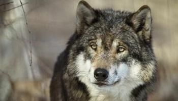Pétition : Pour que vive le loup et que vive le pastoralisme !