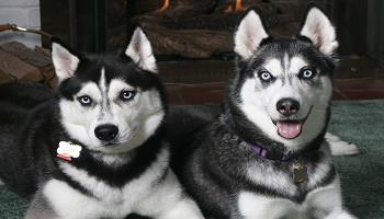 Pétition : Pour les retraits définitifs des 7 huskies de St Avold