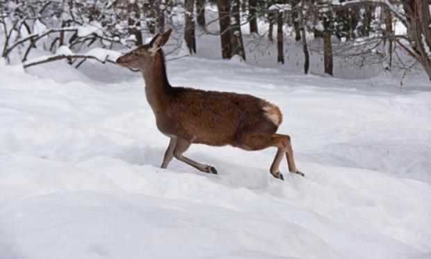 Pétition : Stop aux battues organisées autour du gros gibier par temps de neige, faciles à localiser et à abattre grâce à leurs empreintes dans la neige, aidées par le flair des meutes de chiens !