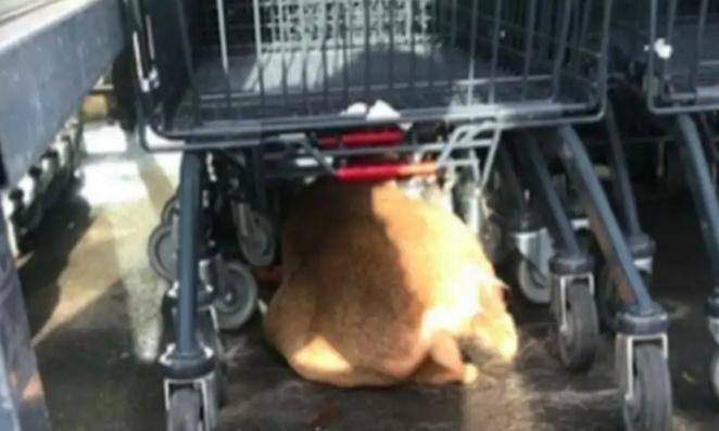 Justice pour le chevreuil chassé jusqu'à un supermarché et amené dans une voiture !