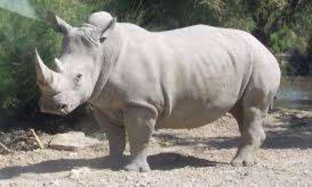 """Protection des rhinocéros"""