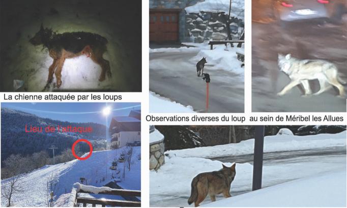 Attaque de loups au coeur d'un village