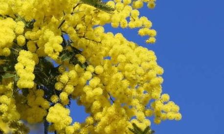 Mimosa, principal arbre détruit et pourtant bien utile contre les radiations !