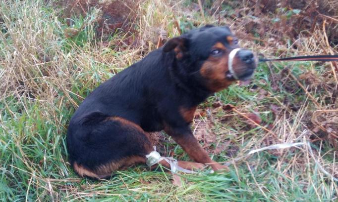 Justice exemplaire pour le chien retrouvé attaché en forêt d'Escautpont pattes et museau scotchés ( 59)