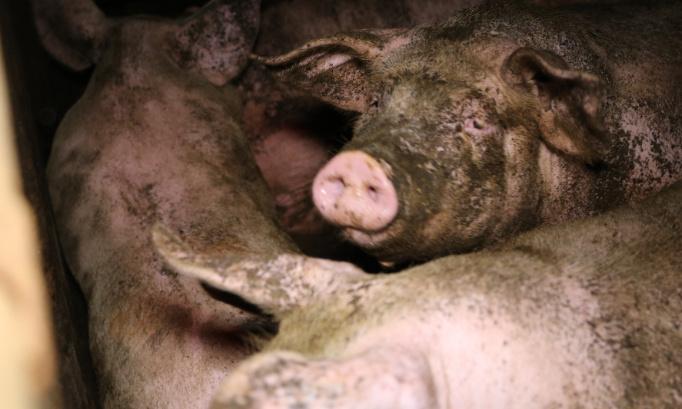 Défis environnementaux, sanitaires, torture animale : végétalisons notre alimentation.