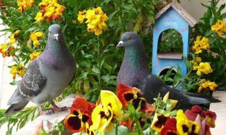 Stop au carnage des pigeons à Assé-le-Bérenger !