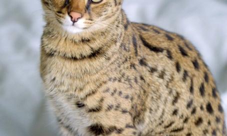 Le droit à la possession de chats hybrides