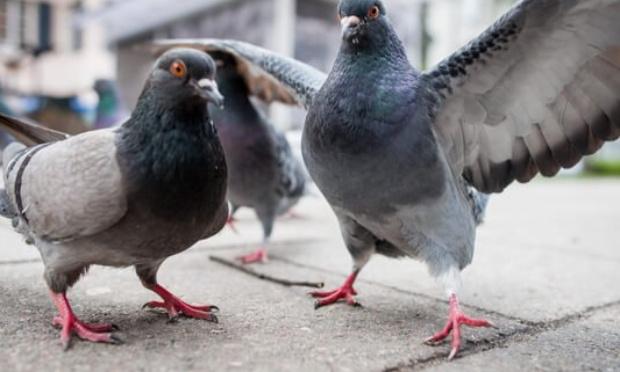 Laisser vivre nos pigeons dans des pigeonniers libres