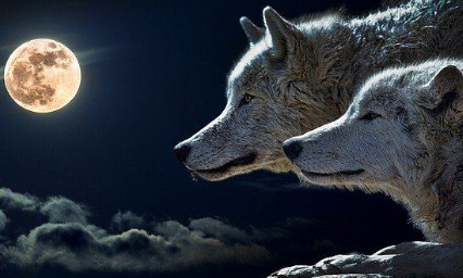 Pétition : Yes,we accept the challence to save the Wolfs.