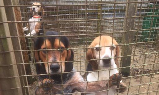 3 chiens de chasse en souffrance détenus dans des cabanes en tôle