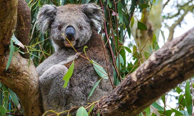 Pétition : Agissez pour sauver les koalas de l'extinction !