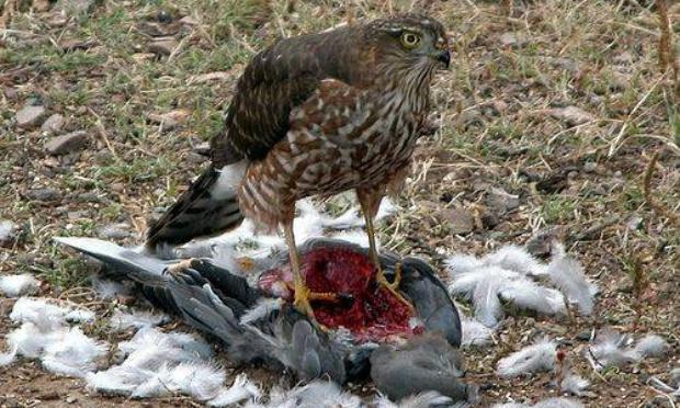 Pétition : Non au passage d'un fauconnier pour chasser les pigeons à Saint-Jory