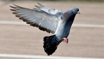 Petition Halte Au Grand Massacre Annuel Des Pigeons Domestiques A Strasbourg