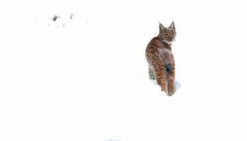 Pétition : Non à la disparition programmée du lynx dans les Vosges !