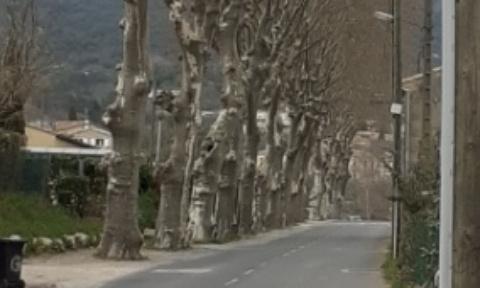 Suppression des platanes de l'avenue des combattants