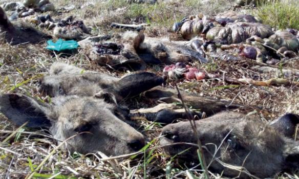 Pétition : Interdire la vente des parties du corps de kangourous en France (viande + cuir chaussures Nike, Adidas...)