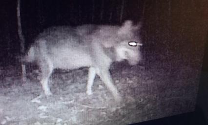 Danger du loup Pyrénées Atlantiques