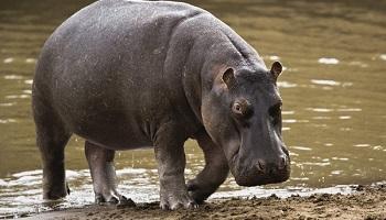 Pétition : Non à la détention et à la présentation de l'hippopotame du cirque GOLD !