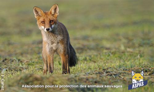 Pétition : Protégeons les renards !