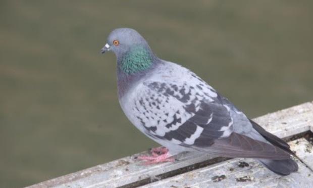 Rendons la gloire à nos pigeons