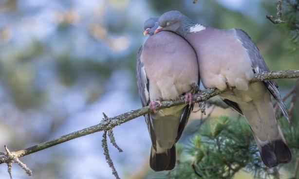 Non à la rafle des pigeons à Gap, oui aux pigeonniers contraceptifs !