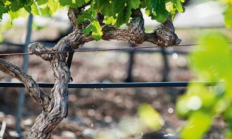 Non à l'irrigation des vignes