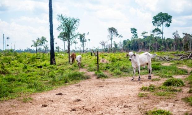 Déforestation : pour la lutte contre le pâturage illégal de bétail en Amazonie