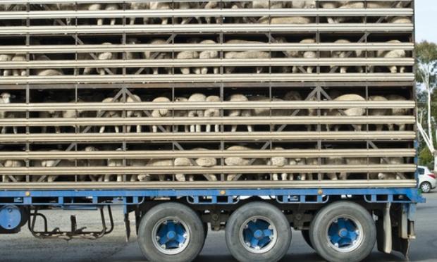 Interdiction de transporter des animaux vivants à plus de 100km de leur lieu d'origine, maltraitance inadmissible pour ces pauvres bêtes innocentes