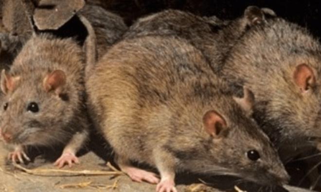 STOP à l'invasion de rats dans notre commune 28140 Baigneaux