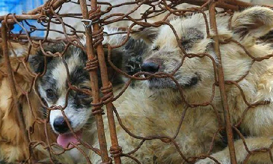 Pour la fin de ce festival barbare qui massacre des milliers de chiens chaque année