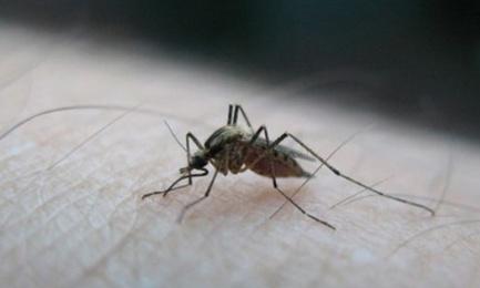 Appeller les moustiques femmelle la moustique