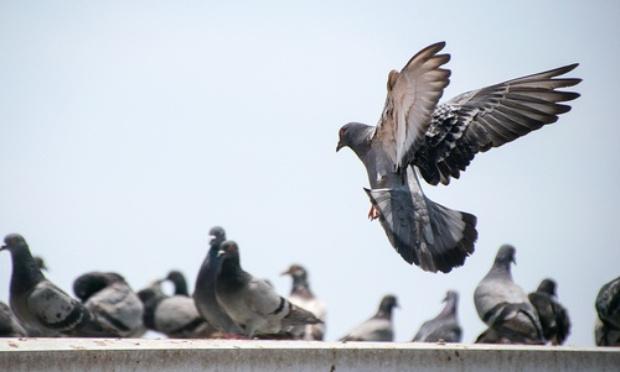 Non à la chasse aux pigeons à Paimbœuf