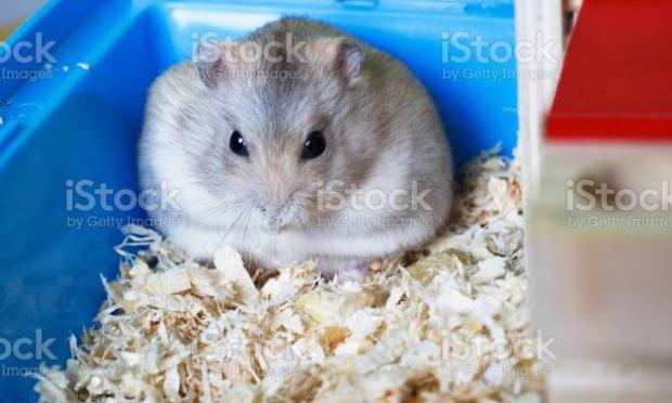 Luttons contre l'obésité chez les hamsters!