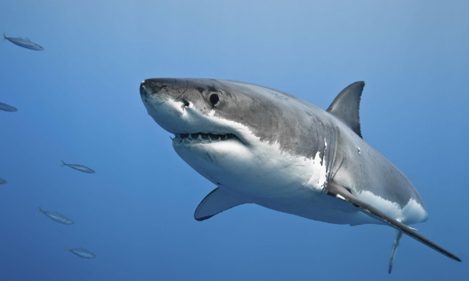 Against the extinction of sharks.