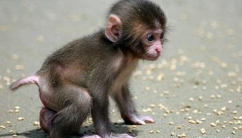 Pétition : Non à l'élevage de 1.600 singes destinés à un laboratoire en Alsace !
