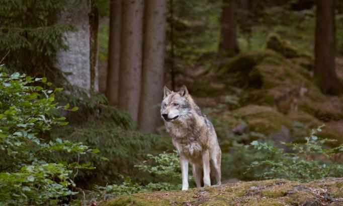 Stop à la persécution des loups !