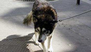 Pétition : Non à la maltraitance quotidienne des chiens des SDF de Grenoble