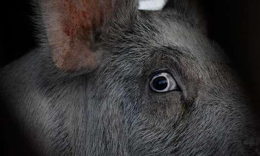 Rendons obligatoire la vidéosurveillance dans les abattoirs, élevages intensifs et laboratoires d'expérimentation animale