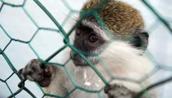 Petition : Air France must stop transporting monkeys to laboratories