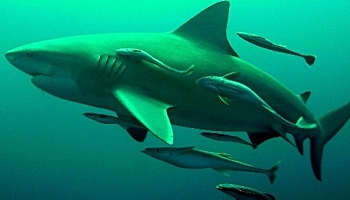Petition : Stop the slaughter of sharks