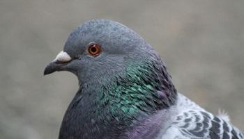 Pétition : Stop au business du dépigeonnage, au gazage et aux stérilisations chirurgicales sans anesthésie des pigeons, STOP aux battues aux pigeons !
