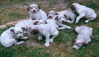 Petition : Abolish inbreeding: no to the extinction of pedigree dogs