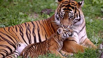 Petition : For a new Tiger Temple