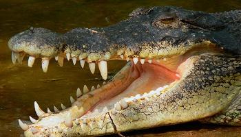 Pétition : Contre l'utilisation de chats vivants pour nourrir des crocodiles au Pérou