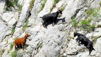 Halte à la honteuse fusillade de 3 chevrettes à Anduze (Gard)